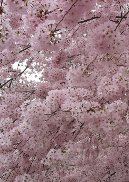 An Entry From Dollface Blossom Trees Cherry Blossom Tree Flowering Trees