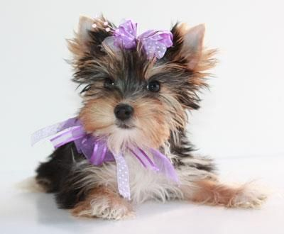 Pin By Sylvia Stephenson On Pets Yorkie Puppy Toy Dog Breeds Yorkie Dogs