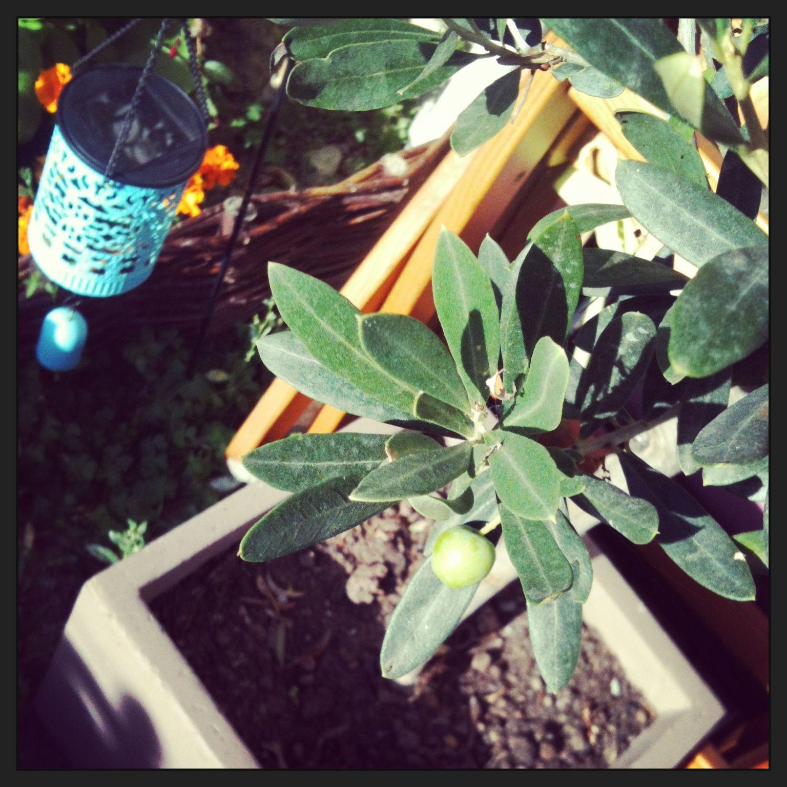 Le jeune olivier.