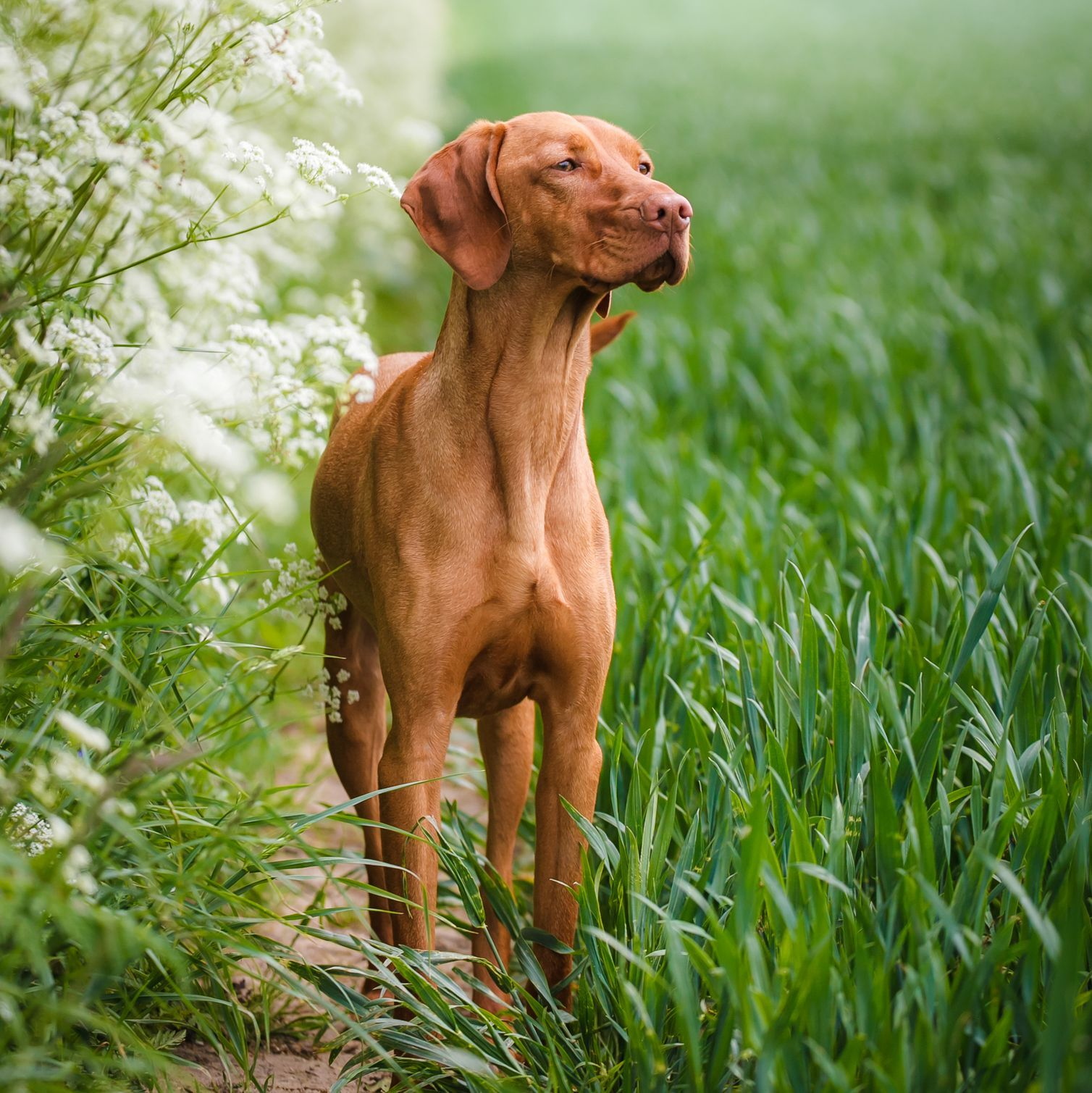 40 Best Medium Sized Dogs Family Dogs Breeds Vizsla Dogs Best