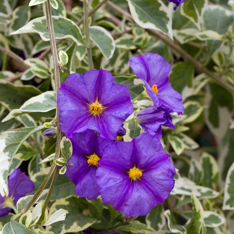 Solanum jasminoides Variegata - Variegated Potato Vine - Dobbies ...