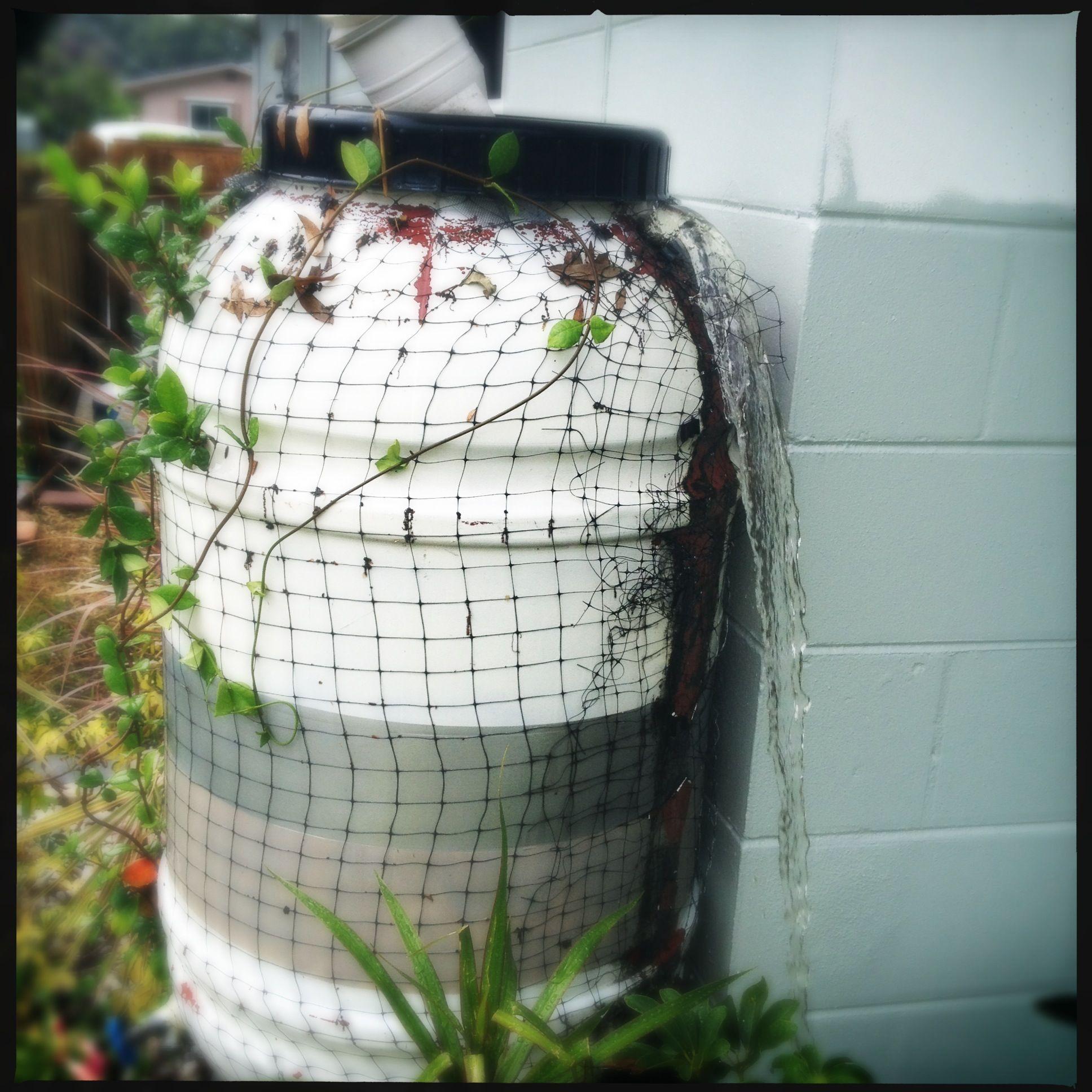 Rain barrel with netting and jasmine vine
