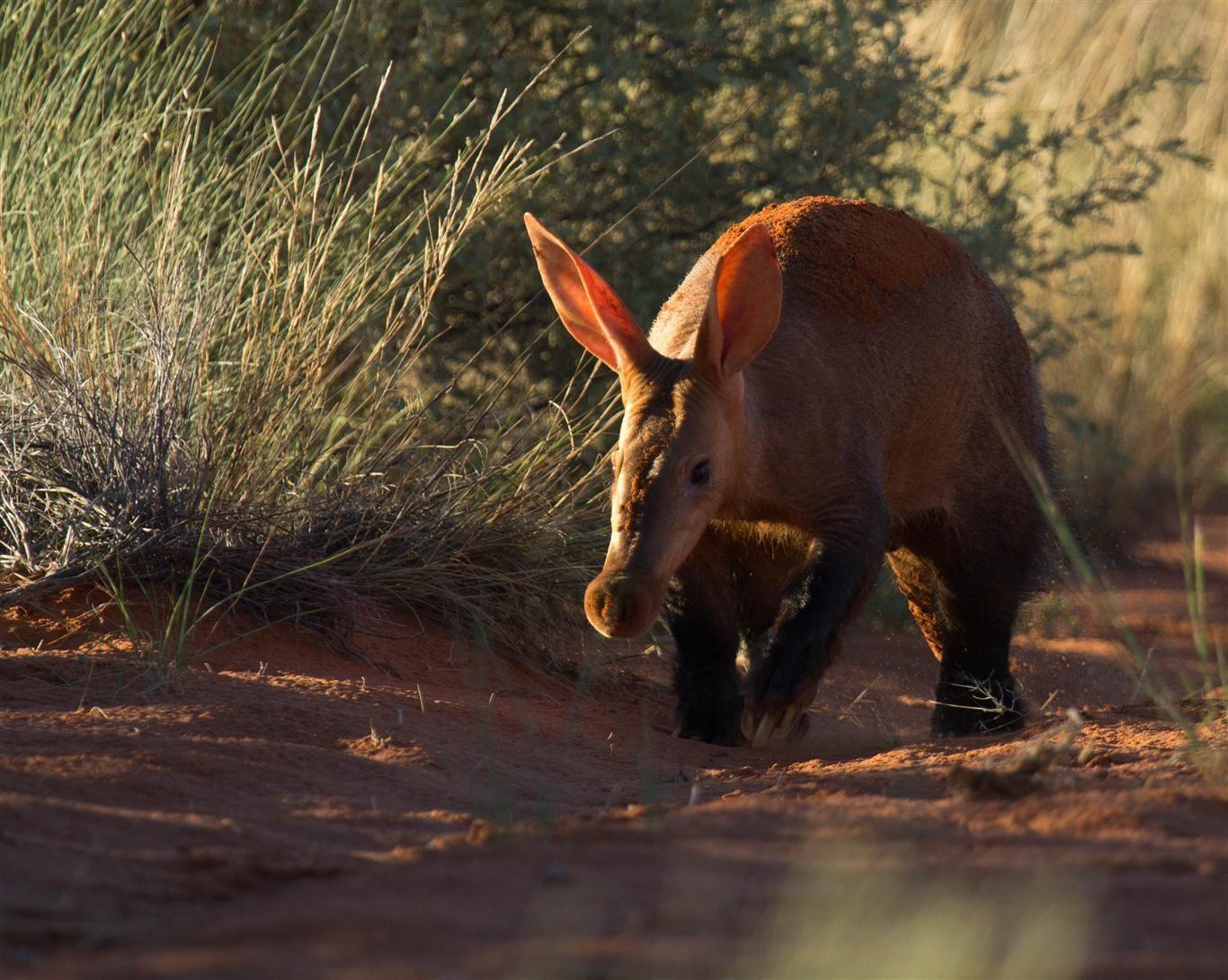Anteater Erdvark Mammals of South Africa Pinterest