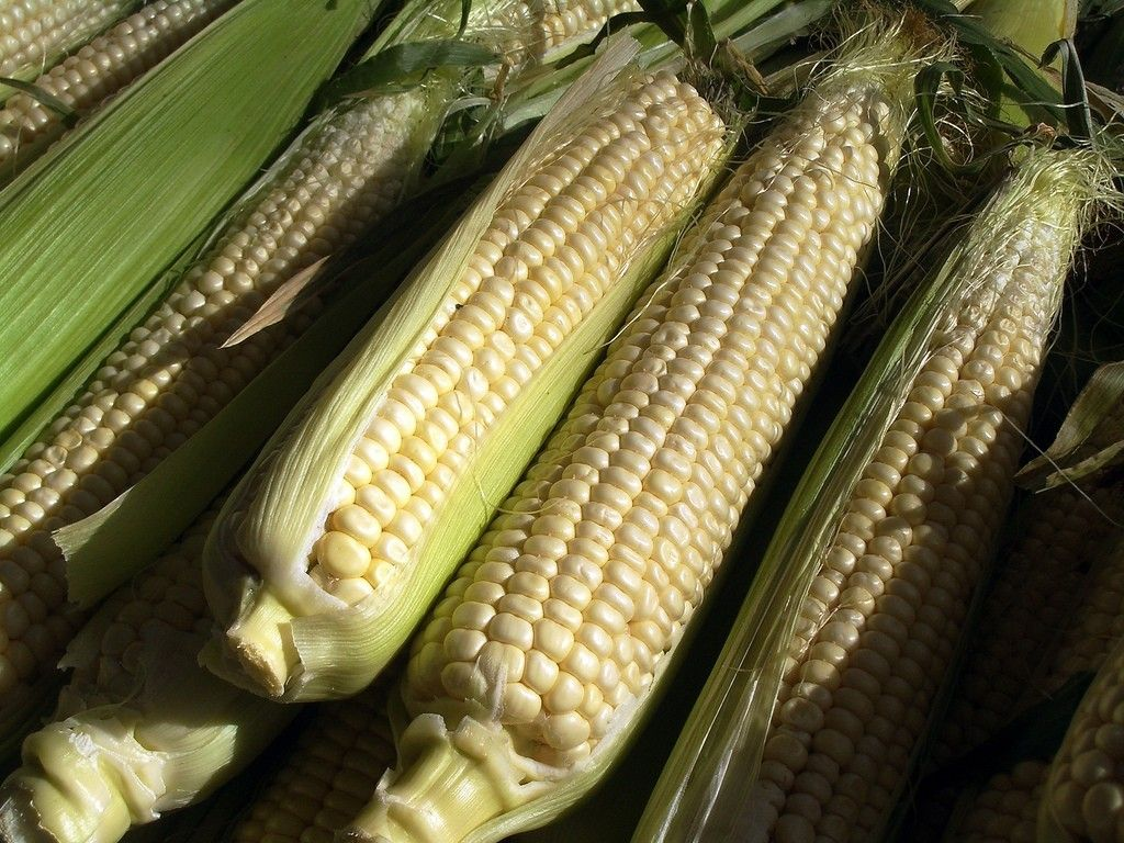 Freshpicked Corn Tastes Much Better Than Grocery Store Corn When The Ears Are At The Peak Of Perfection Read Here For Cor Harvest Corn Growing Corn Sweet Corn
