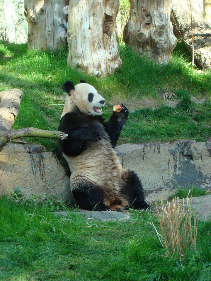 An Apple A Day Panda Enjoying An Apple At Edinburgh Zoo Panda Bear Edinburgh Zoo Panda