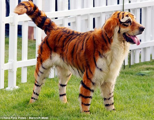 Golden Retriever Siberian Tiger Best Costume Ever Best Dog