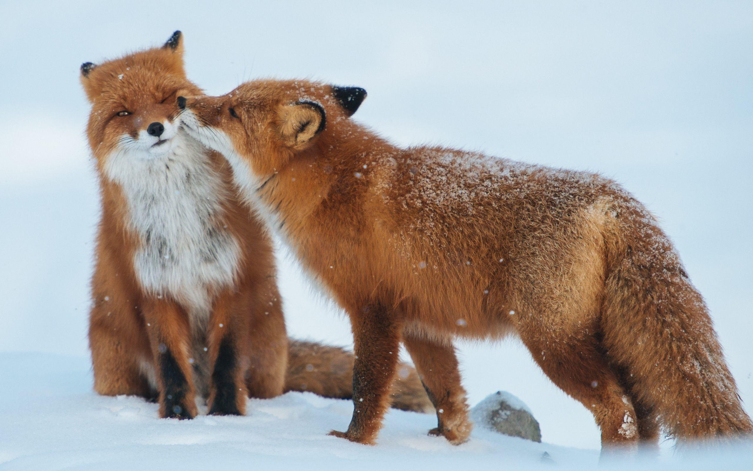 Couple Fox