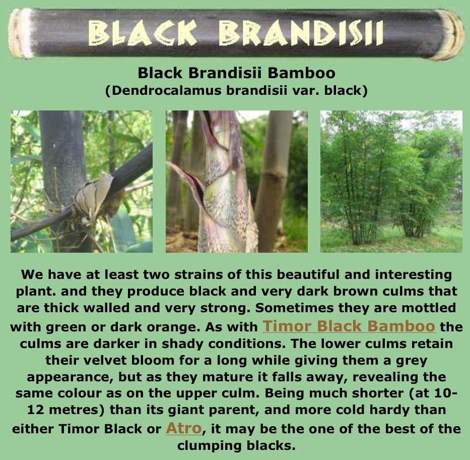 Black clumping bamboo