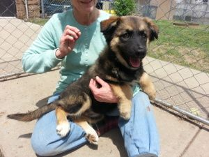 Adopt Kestra On German Shepherd Dogs German Shepherd Mix Dogs