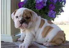 English Bulldog Pupies For Sale I Am A Breeder And I Got Some