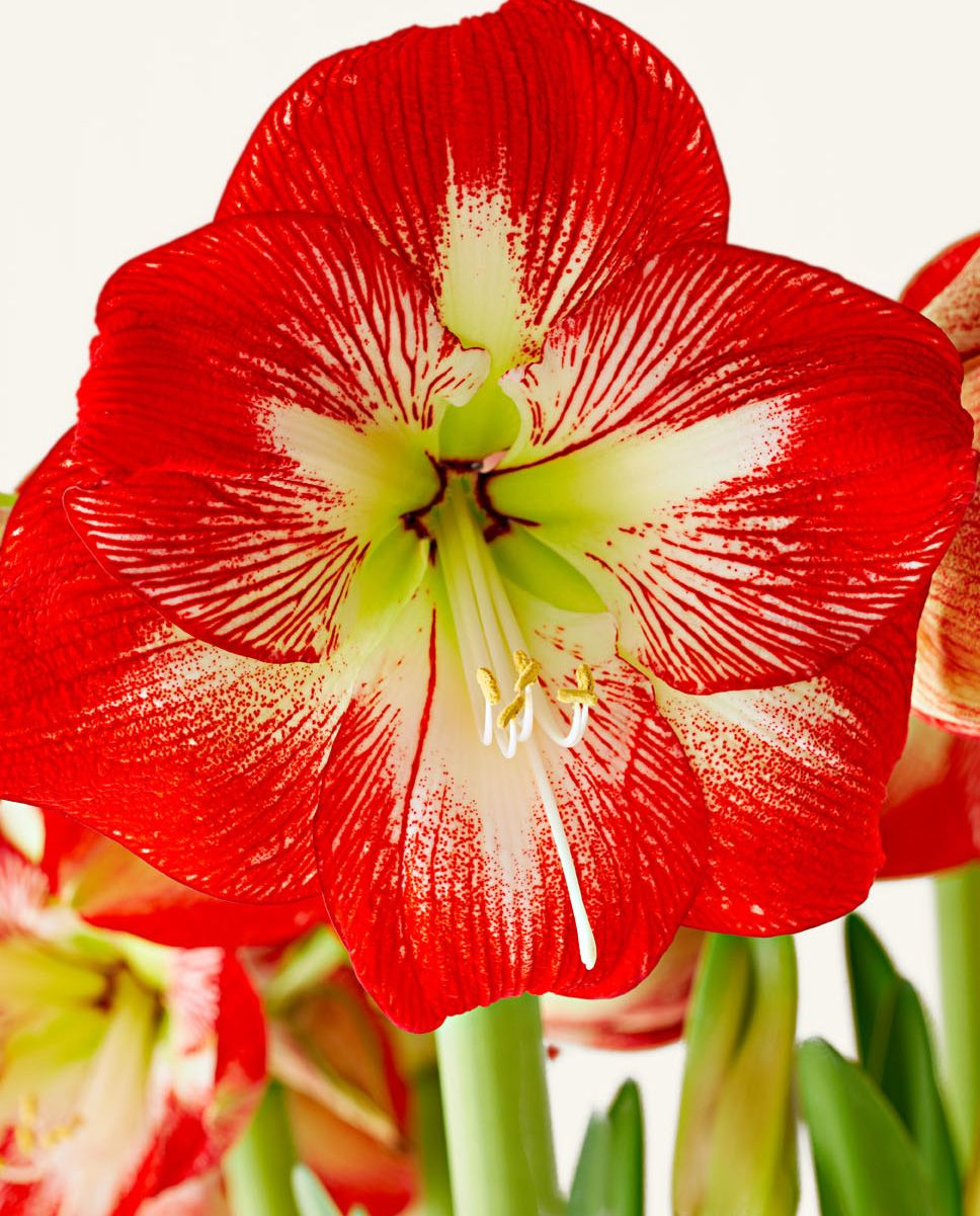 Easy and Elegant Amaryllis Displays Amaryllis, Amaryllis