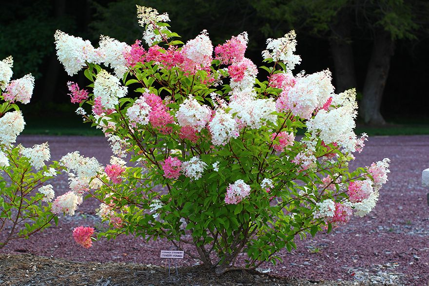 Vanilla Hydrangea Strawberry Strawberry hydrangea