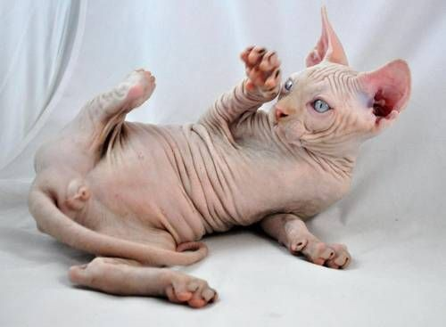 Sphynx Kittens For Sale In California Ready For Xmas Hairless