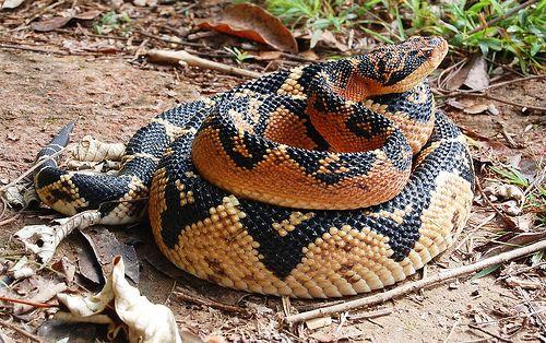 Principais Cobras Venenosas No Brasil Cobras Venenosas Cobras