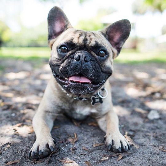 Butters, French Bulldog (2 y/o), Happy Tails Dog Park, Plantation