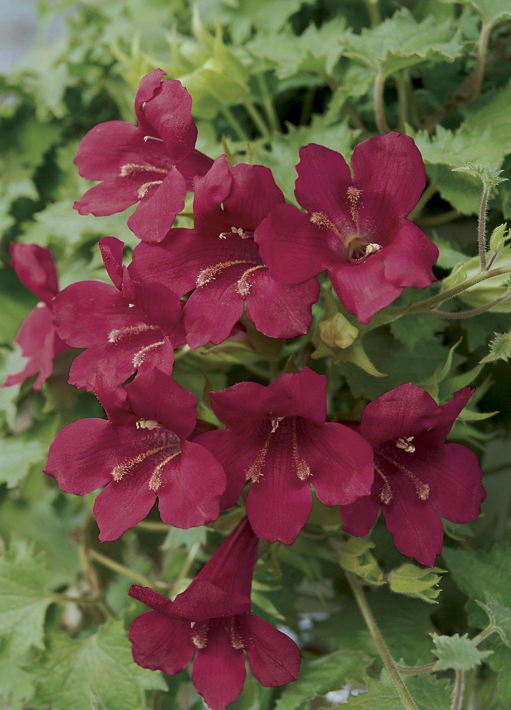 Creeping Gloxinia 'Red' Lophospermum spectacular, fast