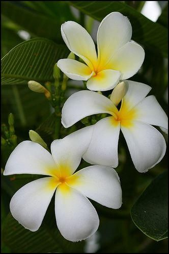 Plumeria Acuminata Air Is A Flowering Plant Cultivated In The Philippines Known Commonly As Kalachuchi It Is Very Fragrant 꽃 아름다운 꽃 아름다운