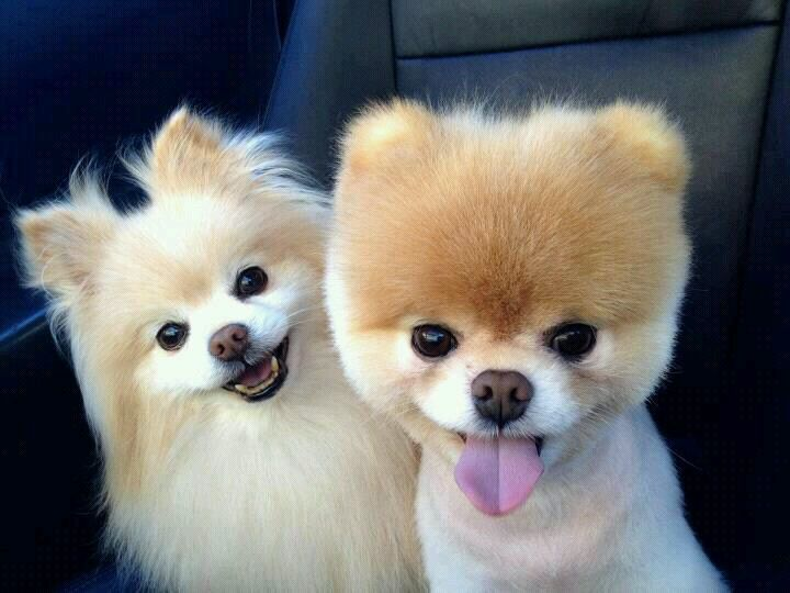 Pomerania 3 3 3 Cute Pomeranian Cute Animals World Cutest Dog