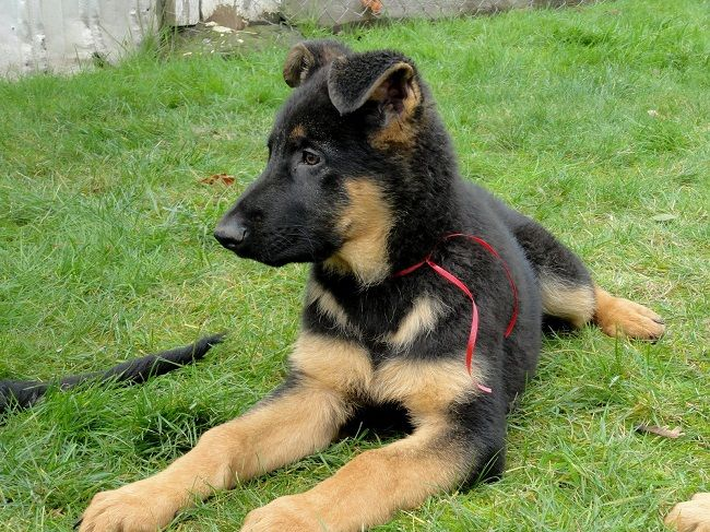German Shepherd Puppies For Sale In Los Angeles