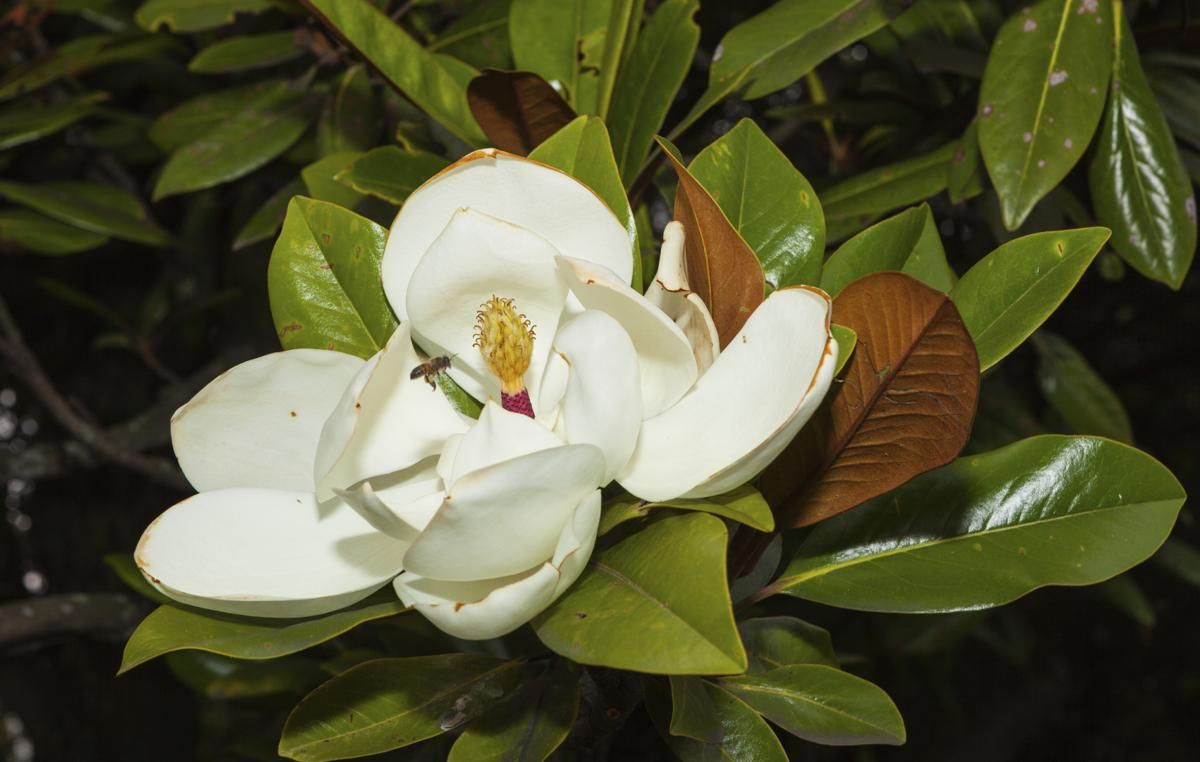 Magnolias Existed Before The Bees Magnolia Flower Flower Meanings Magnolia Grandiflora