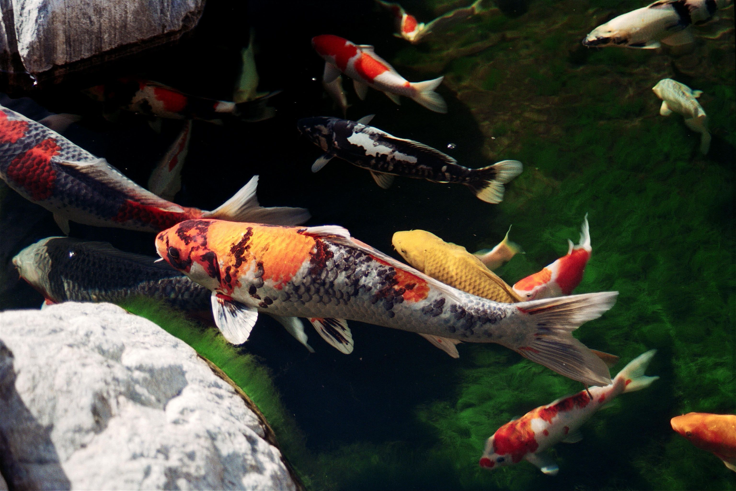Japanese koi fish tips to keep your koi fish healthy for Japanese garden fish