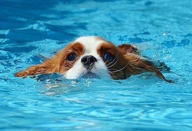 Cavalier King Charles Spaniel..too bad Nocci hates swimming :(