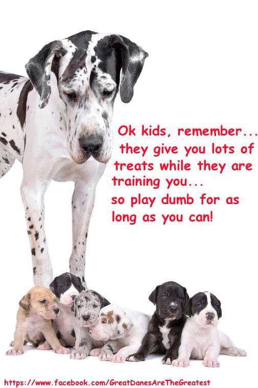 Pin On Shih Tzus Great Danes