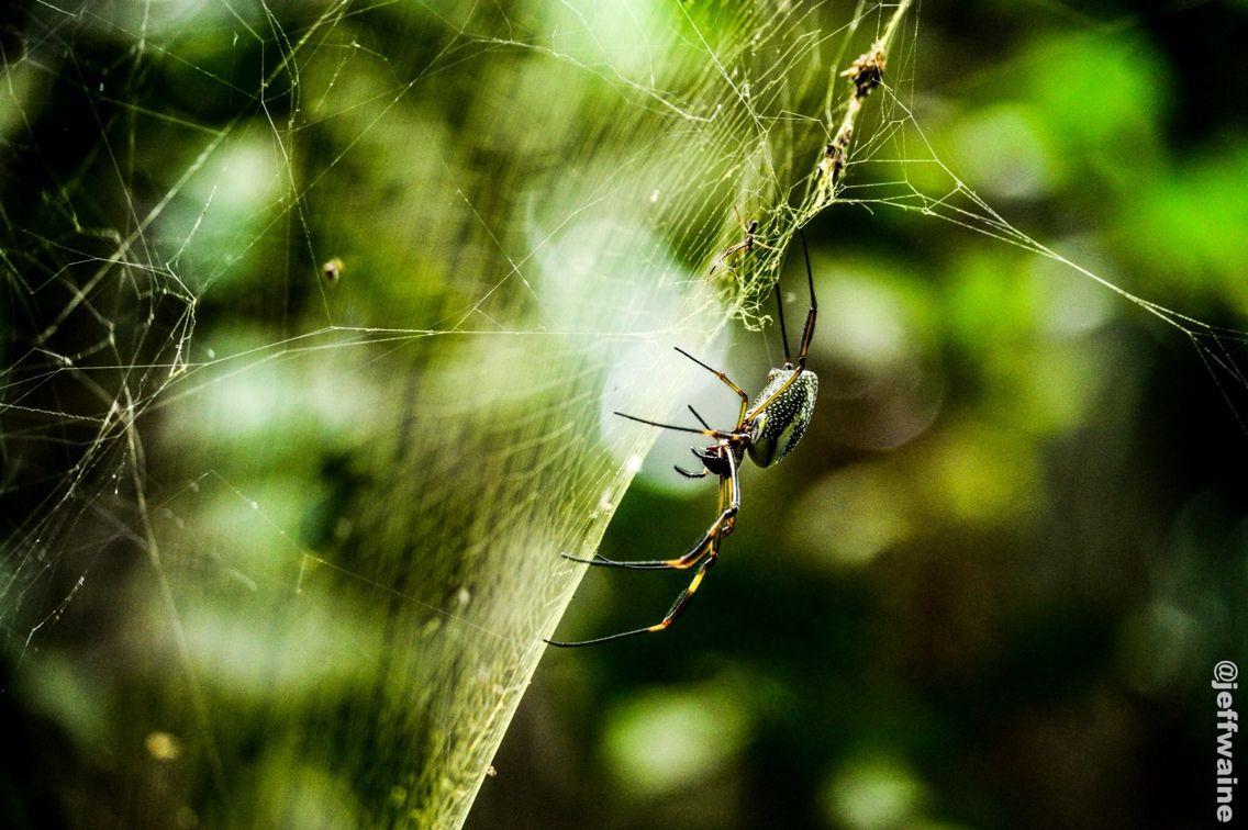 Aranha brasileira ... Jeffwaine photo