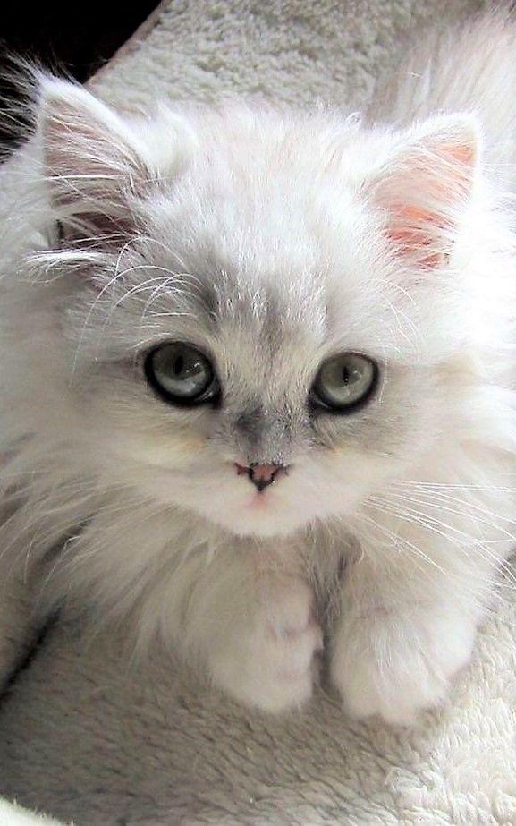 Adorable White Cat Gatinhos Adoraveis Gatos Bichinhos Fofos