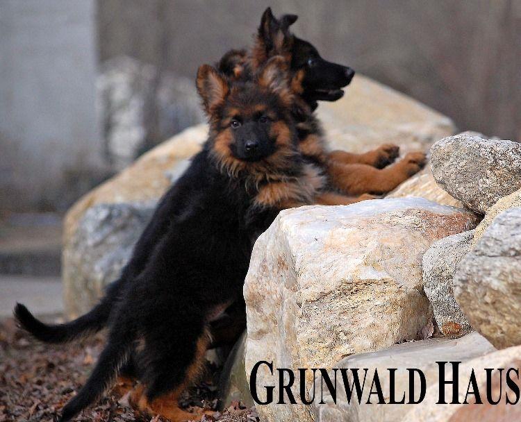3 month old long coat German Shepherd puppy by Grunwald Haus
