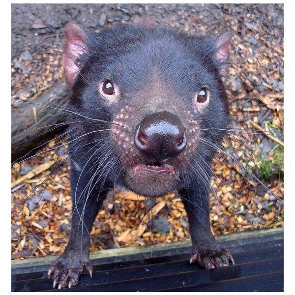 Pin Pals of SugarBush Squirrel ❤ liked on Polyvore