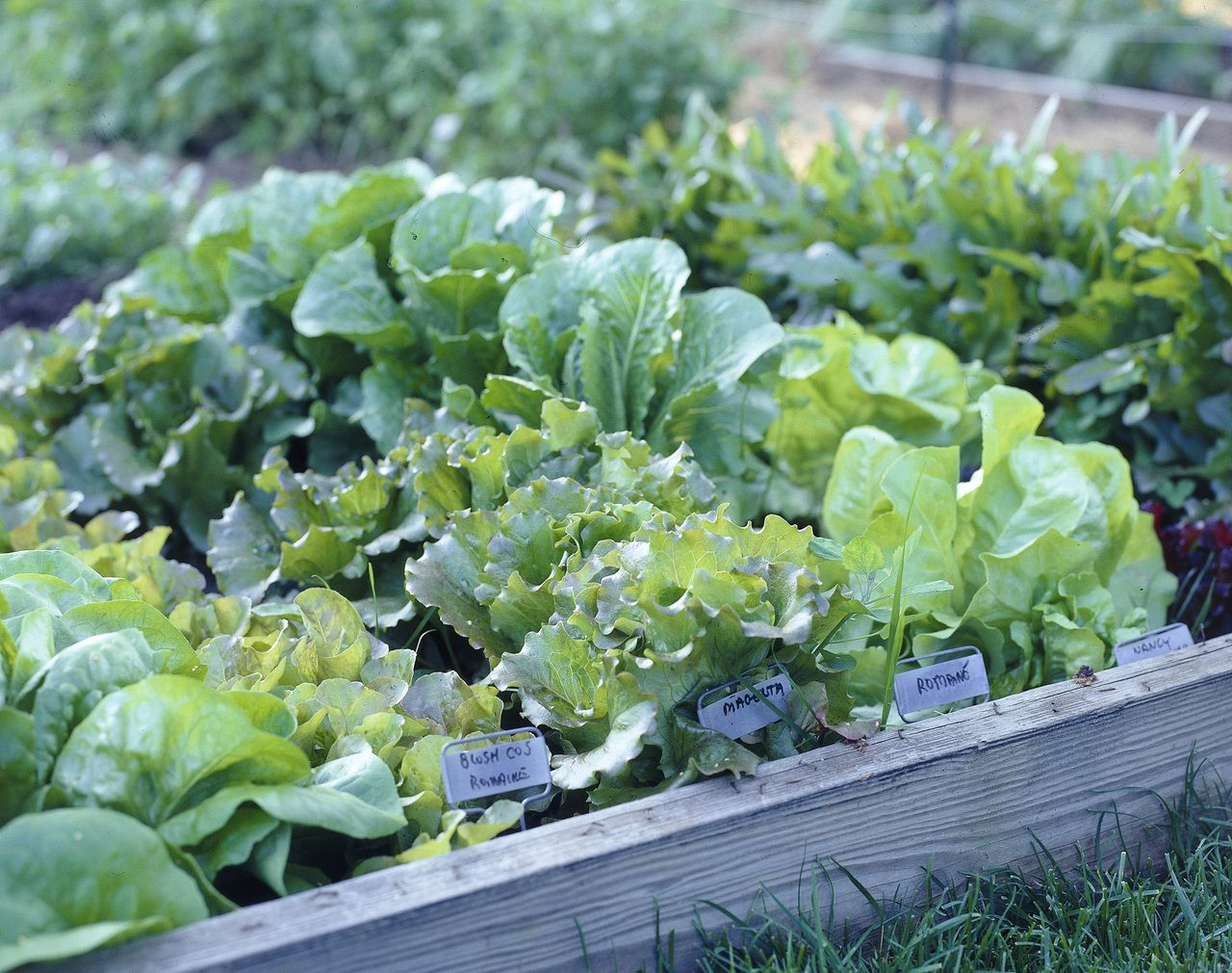 Salads are extremely easy to grow, and with the huge variety of ...