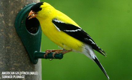 American Goldfinch Birds Minnesota Birds Bird Watchers