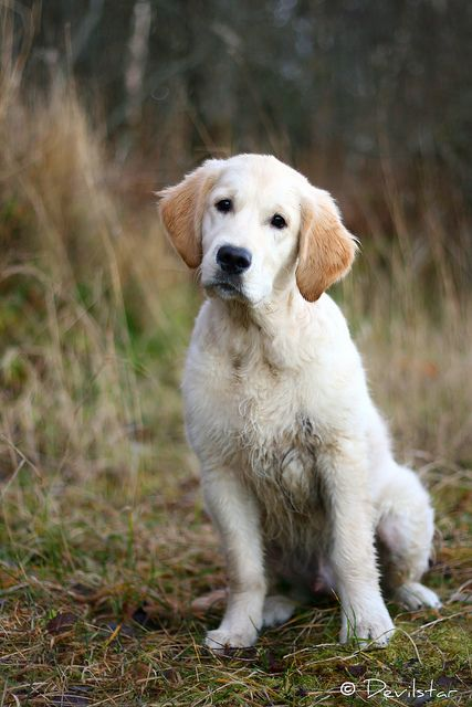 Fredy Old Golden Retriever Baby Dogs Beautiful Dogs