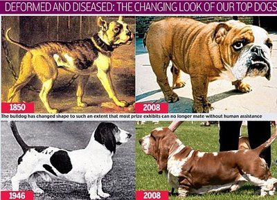 Changes In English Bulldog And Basset Hound With Images