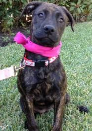 Alexia She Is An Adorable Baby Girl Catahoula Pitbull Mix