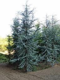 Blue Atlas Cedar Group Resized 326 Blue Atlas Cedar