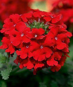 Rote Blumen für den Balkon und die Terrasse