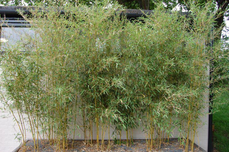 Kann ich Bambus im Kübel halten? Sichtschutz pflanzen