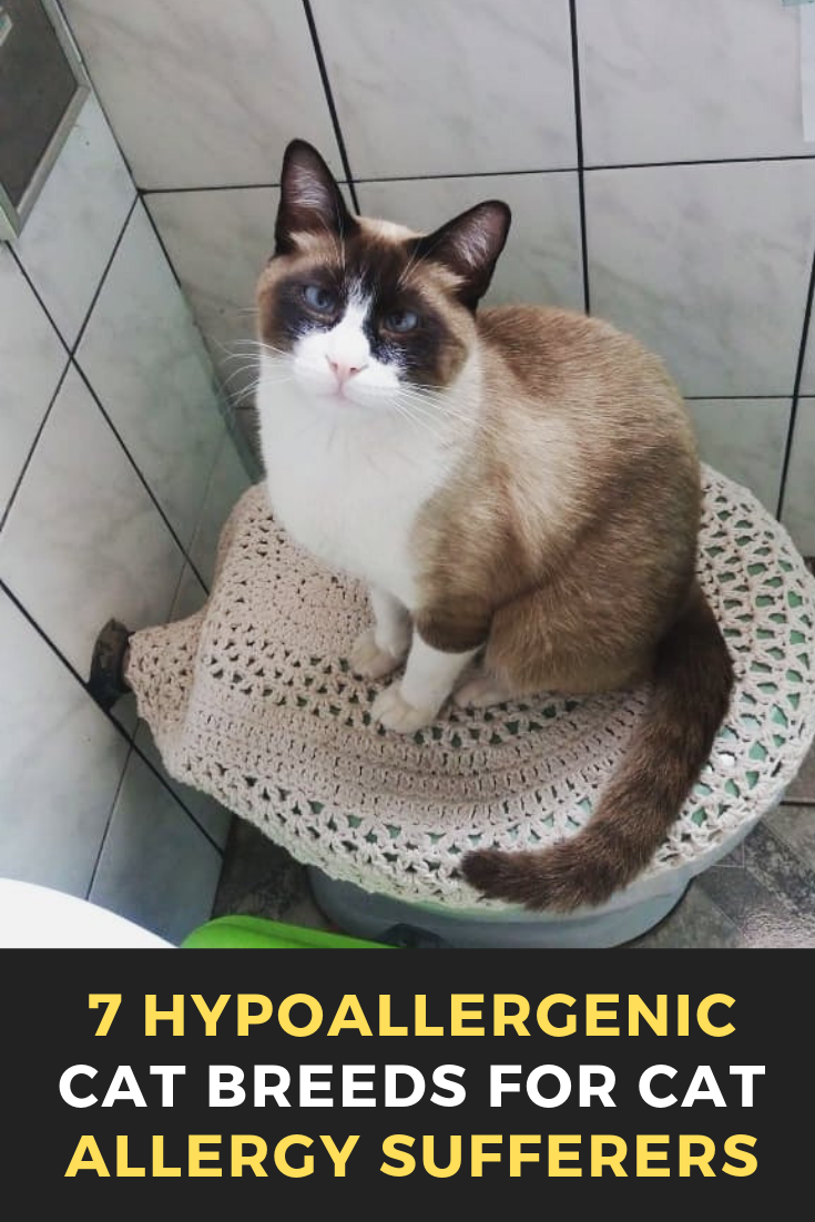 7 Hypoallergenic Cat Breeds For Cat Allergy Sufferers Cats Cat