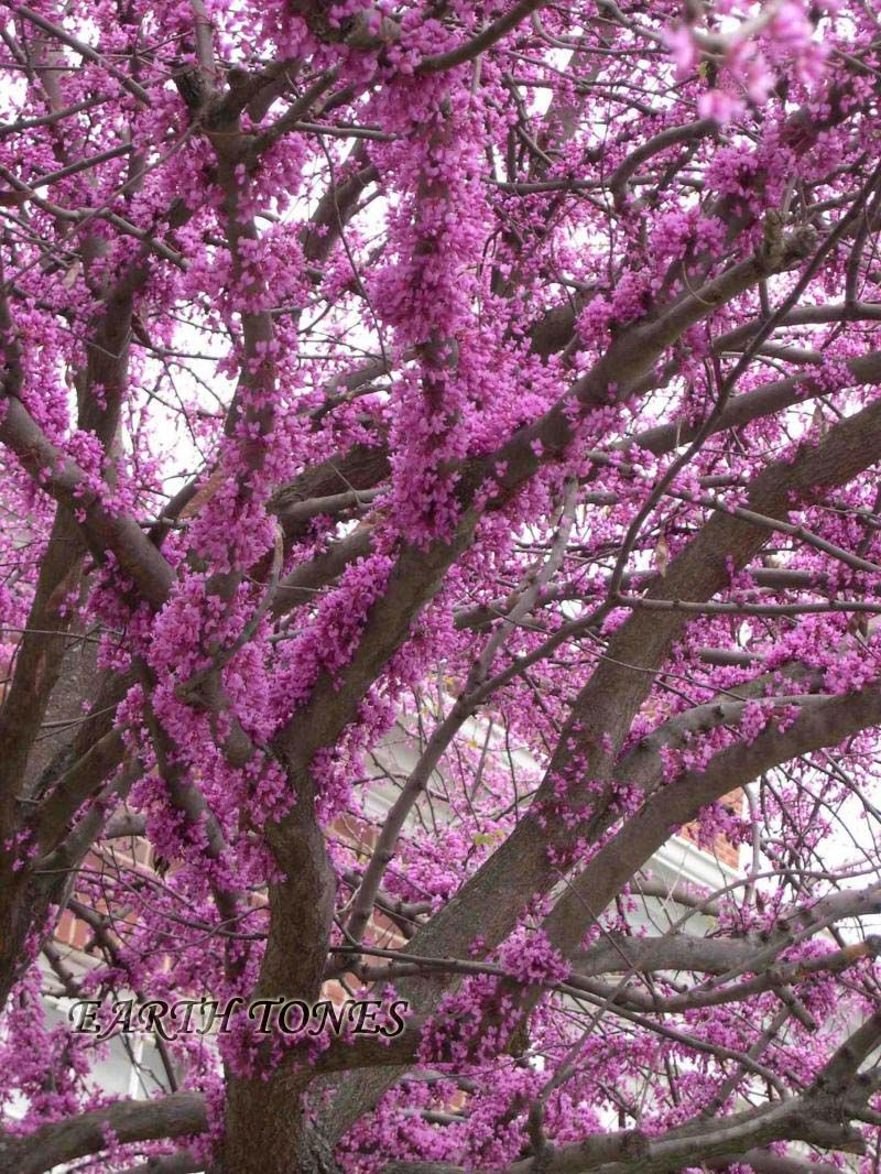 Flowers Growing From Trunk And Branch Bark Eastern Redbud Botanical Common Name Cercis Canadensis