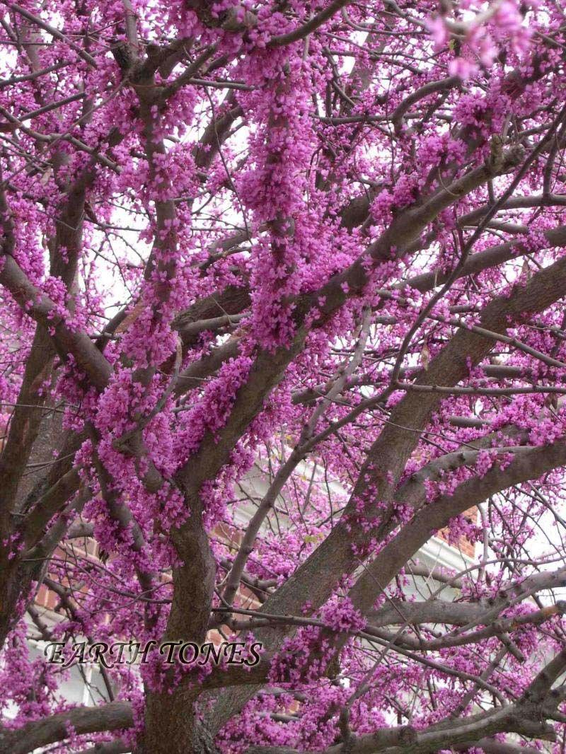 Eastern Redbud Cercis Canadensis Trees Shrubs Vines Redbud