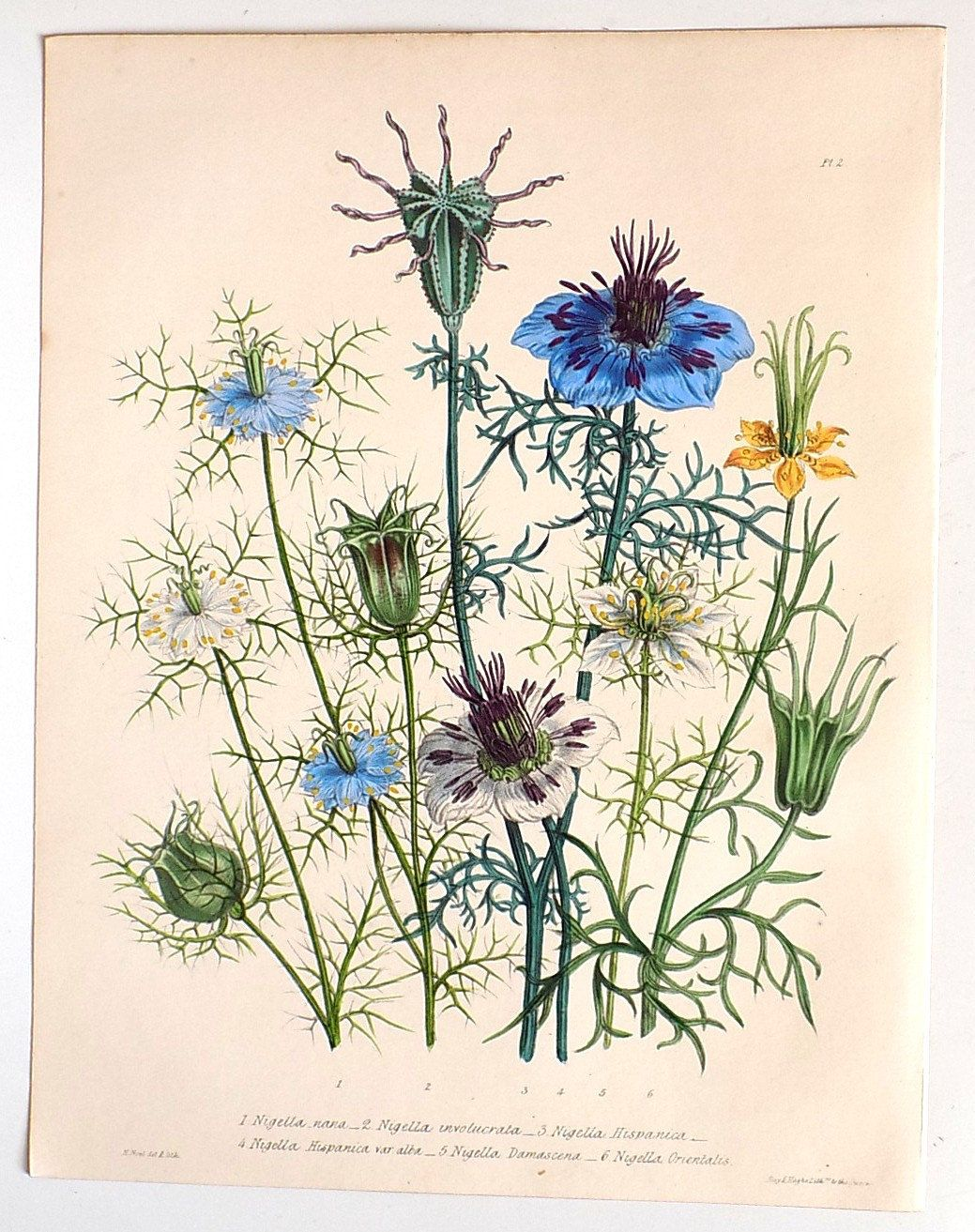 1841 Beautiful Flower Bouquet Love In A Mist Nigella Original Antique Hand Coloured Lithograph Home And Living In 2020 Botanical Wall Art Botanical Prints Flower Art