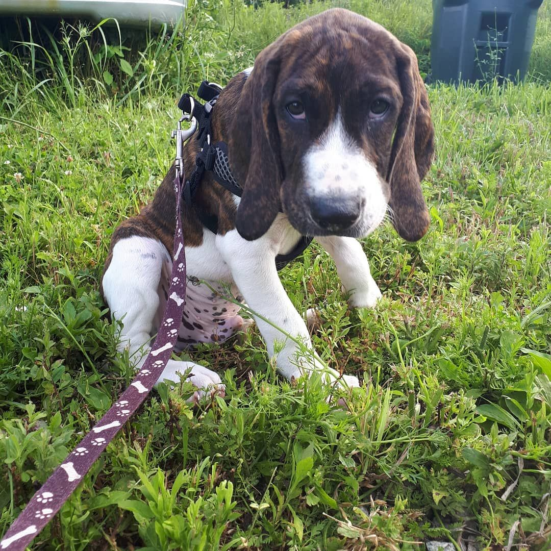 Those Puppy Dog Eyes Whiskey Is A Plott Hound Treeing Walker