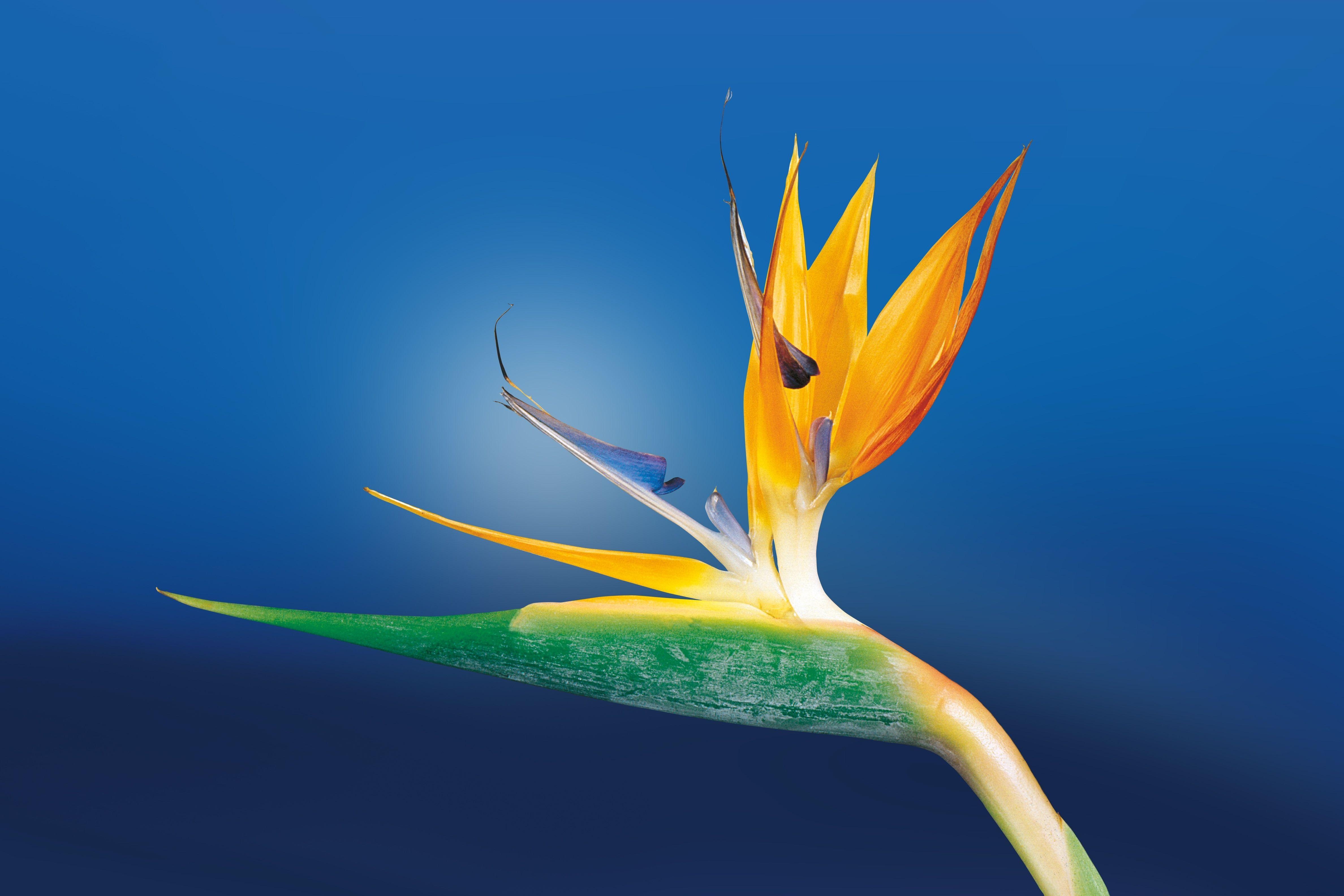 Carpel Birds of paradise flower, Beautiful flowers