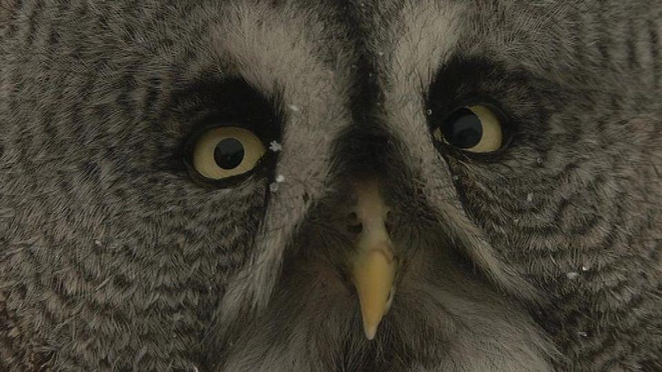 GGO #owl