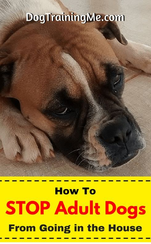 How To Stop Adult Dog Accidents Dogs Dog Training