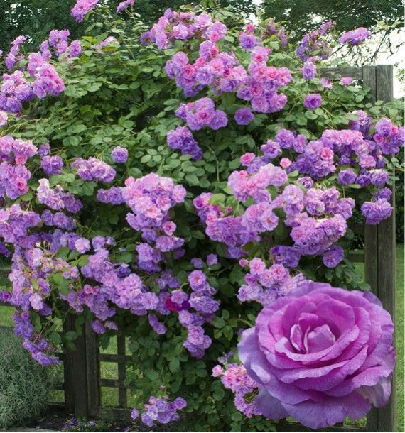 rosier grimpant violette parfumee® dorientsar   flowers, gardens