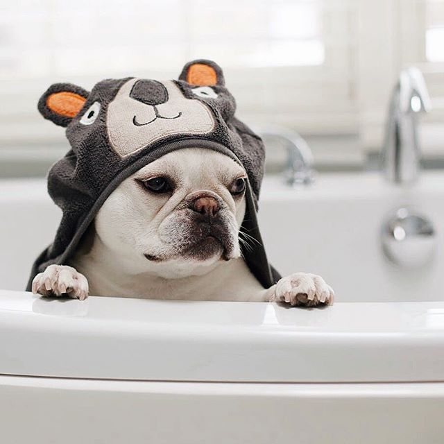 Bonaparte In The Bath French Bulldog Theobonaparte On Instagram