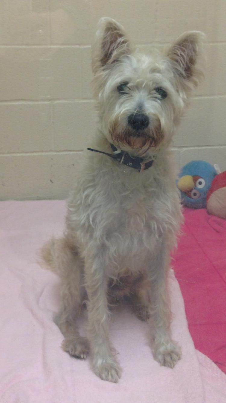 Adopt Luca On Petfinder West Highland White Terrier Poodle Mix Dogs White Terrier